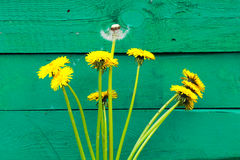 White dandelion on the wooden green surface.   wild flower. White dandelion on the wooden green surface.  wild flower in spring. Bouqet of flowers Stock Photography