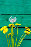 White dandelion on the wooden green surface.  wild flowers. Bouqet of flowers Stock Photos