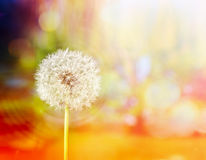 White dandelion on yellow summer blurred nature background with bokeh royalty free stock photos