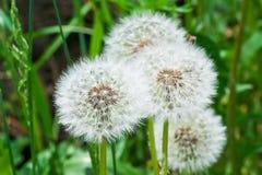 White dandelions Stock Image