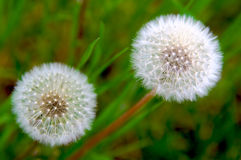White dandelions Stock Photography