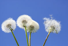 White Dandelions. Beautiful White Dandelions on blue sky background Stock Photo