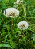 White dandelions on a background of green grass. Seeds of dandelions with white fluff.  stock images