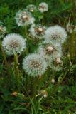 White dandelions on a background of green grass. Seeds of dandelions with white fluff.  stock photo