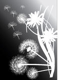 White dandelions on black background Royalty Free Stock Photography