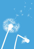 White dandelions on blue background- one with brok Stock Image