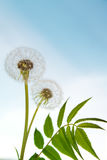 White dandelions and blue sky Royalty Free Stock Photos