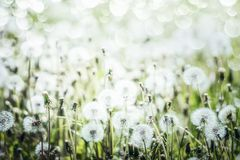 Free White Dandelions Field Background, Summer Royalty Free Stock Photography - 117055477