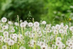 White dandelions in a field. natural green background. A lot of white dandelions in a summer field. natural green background royalty free stock image