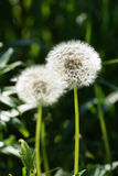 White dandelions in the garden. Royalty Free Stock Images