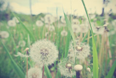 White dandelions in the grass, vintage concept. Royalty Free Stock Images