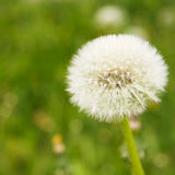 White dandelions on a green grass. Background Royalty Free Stock Photo