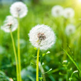 White dandelions on the green lawn Royalty Free Stock Photos