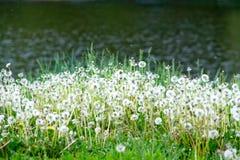 White dandelions Royalty Free Stock Photo