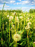 The field of dandelions. White dandelions like a coverlet on the field Royalty Free Stock Images
