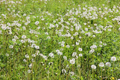 White  dandelions on meadow Royalty Free Stock Images