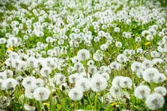 White dandelions in the meadow Royalty Free Stock Image