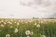 White dandelions on rural field in sunny day Royalty Free Stock Image