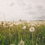 White dandelions on rural field in sunny day Stock Photography