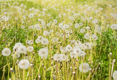 White dandelions Royalty Free Stock Images