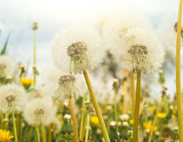 White dandelions Royalty Free Stock Image