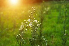 Closeup of White dandelions in spring on the ground with green field background. royalty free stock photo