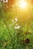 Closeup of White dandelions in spring on the ground with green field background. royalty free stock photos