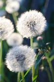 White dandelions in sunlight on green background. Close up to white dandelions in sunlight on green background Stock Photography