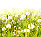 White dandelions on sunny spring meadow Stock Photos