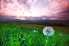 White dandelions on sunrise Royalty Free Stock Photo
