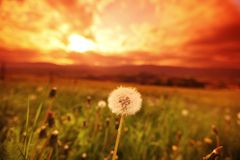 White dandelions on sunrise Royalty Free Stock Image