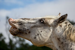 A white dappled male horse flehming Royalty Free Stock Photos