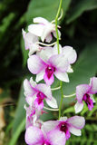 White and Dark Red Butterfly Orchid Stock Images