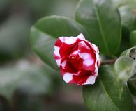 White and dark Red Rosa aurora,rose bengal camellia, japonica in full bloom with water drops and green leaf Stock Photo