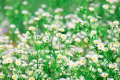 Free White Dasies Flower With Soft Sunlight In Dasie Field, Close-up Of White Dasie Flowers In The Garden ,flower Background For Design Royalty Free Stock Photography - 187534807