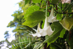 White datura flower Royalty Free Stock Photo