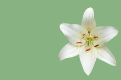 White daylily flower Stock Photography