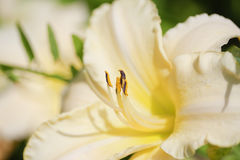 White daylily with stamens close-up stock photo