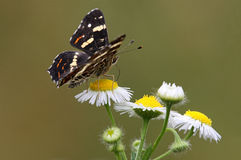 White daysy AND Black BUTTERFLY. A beautiful Black butterfly on a white daisy stock photos