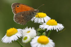 White daysy AND BUTTERFLY Stock Photography