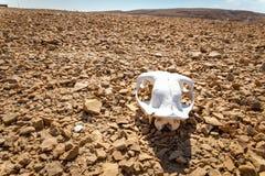 White dead animal skull arid desert landscape. Dead animal skull arid stone desert landscape, wildlife Negev, Israel travel, Middle East nature stock photos