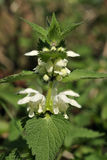 White Dead-nettle Royalty Free Stock Photo