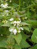 White dead-nettle and it flowers in summer nature. Royalty Free Stock Photography
