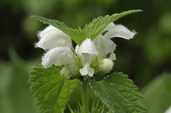 White Dead-nettle - Lamium Album Royalty Free Stock Images