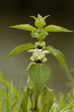 White Dead-nettle - Lamium album Stock Image