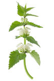 White dead-nettle (Lamium album) Stock Photo