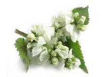 White dead-nettle Lamium album Stock Photos