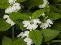 White Dead-nettle, Lamium Album, Weed Blooming Close-up, Selective Focus, Shallow DOF Royalty Free Stock Photography