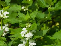 White dead-nettle, Lamium album, in weed blooming close-up, selective focus, shallow DOF.  Royalty Free Stock Photos
