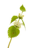 White deadnettle Stock Images